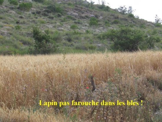 Lapin dans les blés